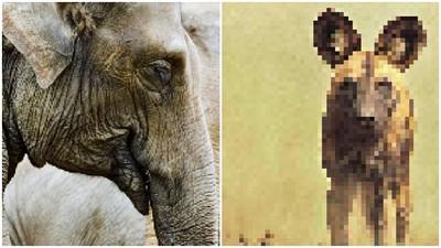 每格像素=一隻動物!「瀕危動物」倖存越少越模糊 遠東豹只剩60隻