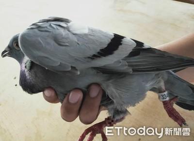 賽鴿賭博遭國際動物保護組織檢舉
