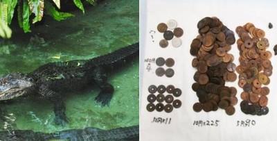 日長壽鱷魚離世 胃中取出330枚硬幣