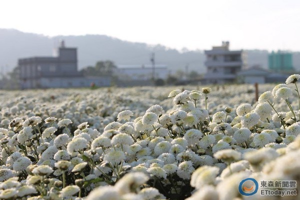 超大爆米花鋪成的白色地毯 苗栗杭白菊正是最美花期