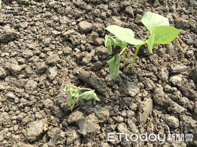 高屏地區紅豆栽培期 降雨濕度高注意苗害防治