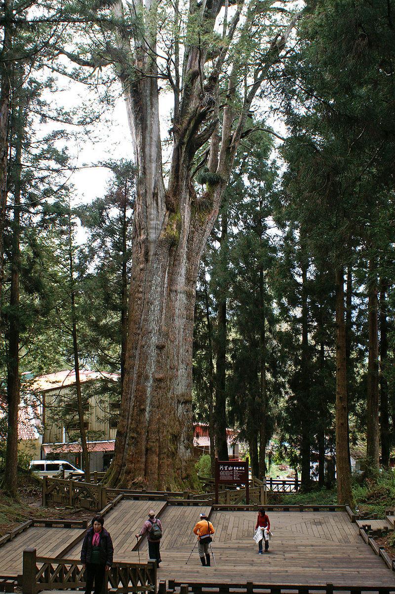 ▲▼樹木品種。(圖/翻攝自維基百科)