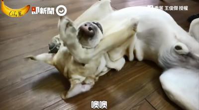 導盲犬退役生活公開 抱頭扭身討摸