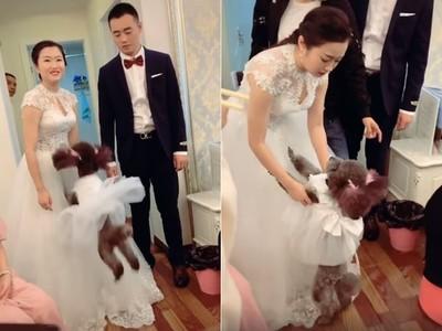 姐姐結婚了!花童汪穿禮服狂撒嬌
