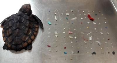海龜吞104片塑膠而死 肚子滿了卻吃不飽