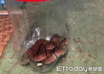紅黑小蛇溜進茶廠!竟是劇毒環紋赤蛇