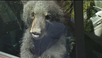 小熊反鎖在車上 超萌按喇叭求救