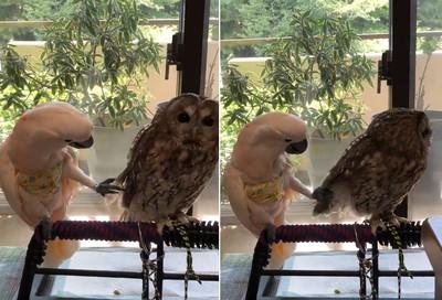 鸚鵡伸腳示好貓頭鷹 結局超悲傷