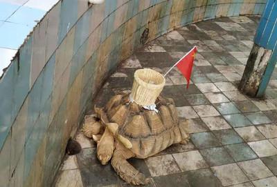 歡慶11國慶!瀕危象龜遭插五星旗