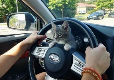 自來喵攔路綁貓奴 上車秒霸佔方向盤