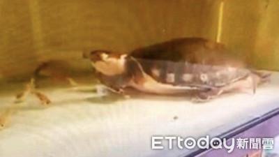 「豬鼻龜」po網販售遭緩起訴