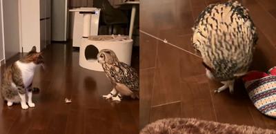 貓頭鷹飛撲逗貓棒 表情複製隔壁