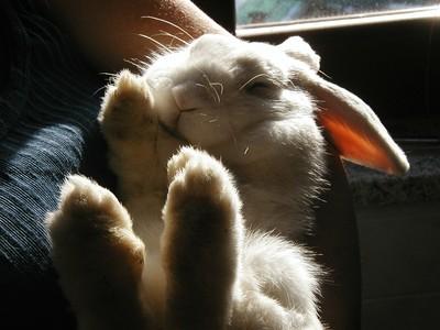 兔子脊椎是彎曲狀!仰躺會導致「脊椎硬被拉直」 大腦受到壓力暈眩