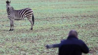 寧可射殺也不還牠自由!斑馬逃出馬戲團 警認定「具危險性」當眾擊斃