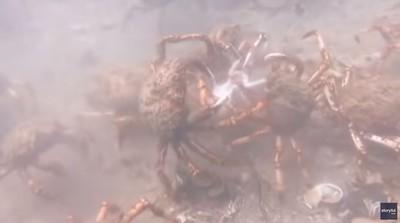 章魚誤闖巨型螃蟹群慘遭圍攻分屍