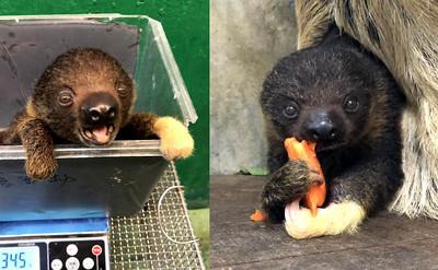 小樹懶健檢 慢動作對保育員燦笑