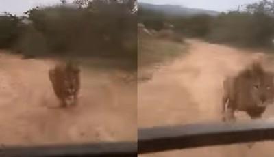 家園入侵觀光客 獅子凶狠追殺