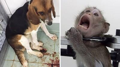 毒針打到脫肛吐血!動物實驗室內部影像曝光 猴貓狗替人類試毒到死
