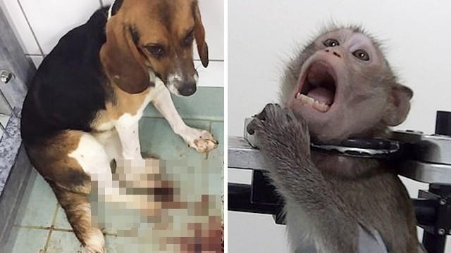 毒針打到脫肛吐血!動物實驗室內部運作曝光 猴貓狗替人類試毒到死