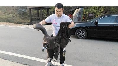 降落10天胖5公斤 禿鷲「胖到飛不起來」