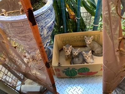 陽台放箱子 小貓自動裝箱求奴才