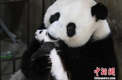 網傳年薪312萬請人扮貓熊 廣州動物園出面闢謠