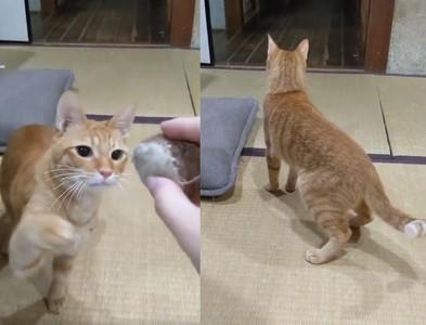 貓奴假丟玩具騙主子!牠露無辜眼神