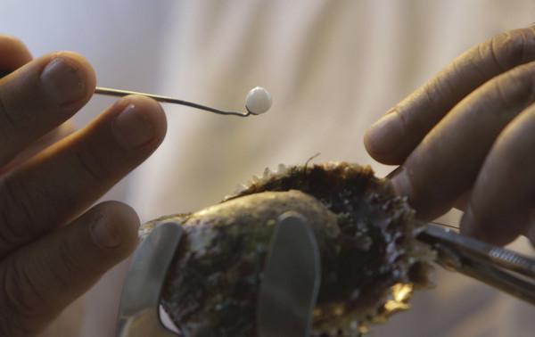 ▲▼ 2012年4月4日,日本首度和阿拉伯聯合大公國珠寶商合作,把人工養殖珍珠法引進到阿聯酋。自從日本於1930年代開始使用。(圖/達志影像/美聯社)