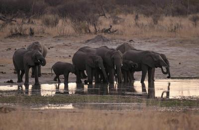 辛巴威大乾旱 已逾55頭象死亡