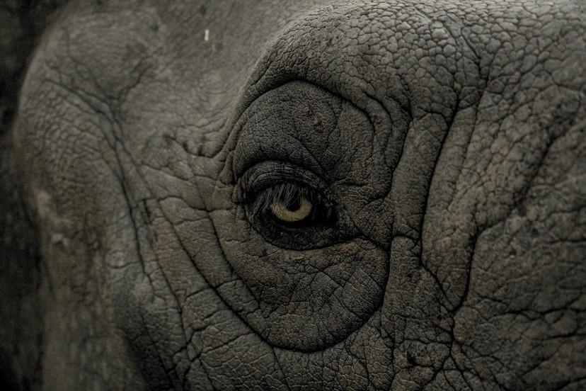 淪為商人賺取旅遊財的泰國大象  沒有自由只有無限輪迴的載客地獄