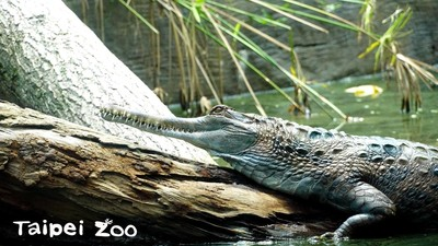 看鱷魚睡在哪秒懂天氣冷暖!