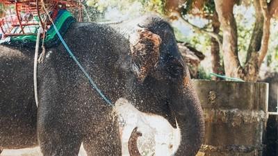 不聽話就用鐮刀割!載客大象失控踩女客 馴象師狂刺頭踹脖
