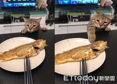 媽媽煎的魚好香!貓桌邊伸手偷抓
