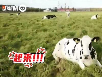 日本牛群見「漂浮UFO」秒奔農舍