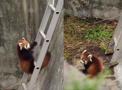 小貓熊咚咚爬樓梯!滾下來裝沒事