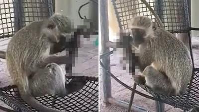 緊抱小猴乾屍不放!母猴產下死胎無法釋懷 不斷理毛試圖喚醒寶寶
