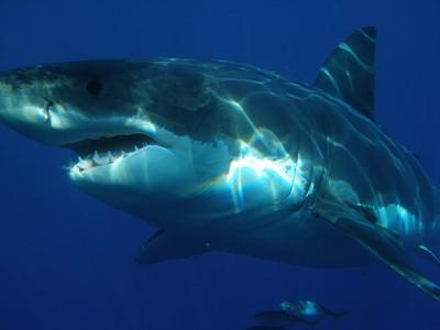 鯊魚用皮膚排尿!嗑肉聞到尿騷味