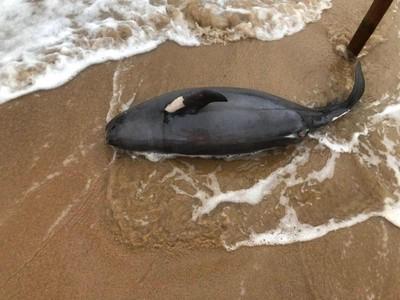 今年第13隻「露脊鼠海豚」死亡