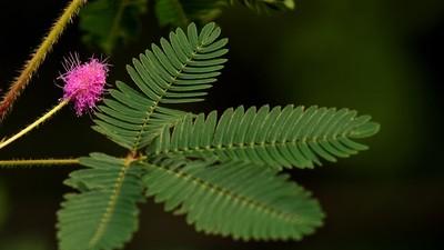 植物也能被麻醉!碰到乙醚…含羞草直接「睡死」數小時