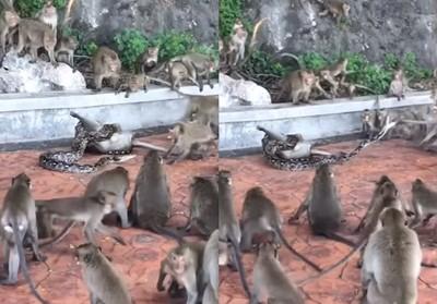 猴遭蟒蛇纏身! 同伴抓尾救不回