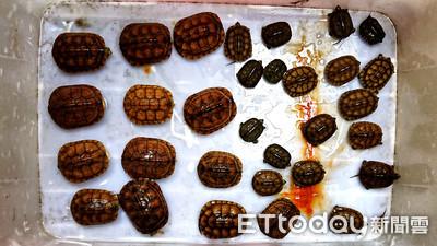 查獲保育食蛇龜,柴棺龜45隻上網賣 2男被逮