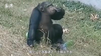 安徽動物園黑猩猩吸菸 員工:吸一支不會怎樣
