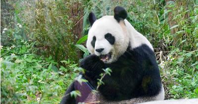 工讀生?年薪312萬扮熊貓「啃竹子」