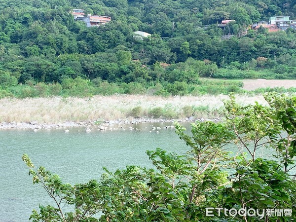 ▲大漢溪左岸自行車道溪床開滿了甜根子草。(圖/記者彭懷玉攝)