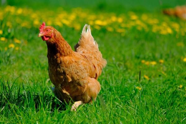 ▲母雞,圖為示意圖。(圖/取自免費圖庫pixabay)