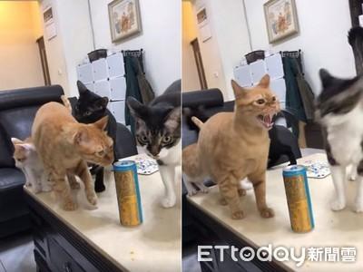 橘貓哈氣橫掃搶罐罐 3貓被彈開