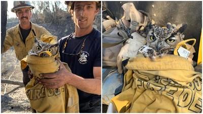 氣噗噗→放很鬆!貓頭鷹遭森林大火嗆傷 暖心消防員脫外套救援