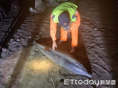 長2公尺弗氏海豚 疑遭達摩鯊攻擊死亡