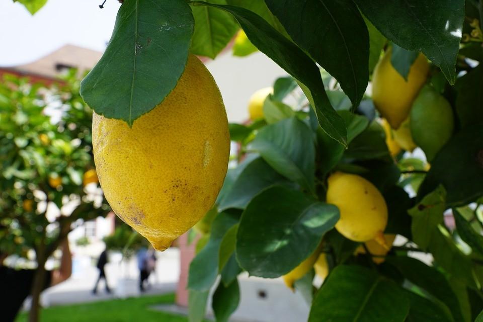 ▲▼香水檸檬。(圖/取自免費圖庫Pixabay)