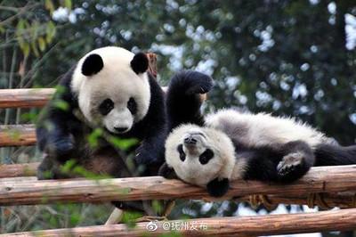 大貓熊將在江西撫州野外放養